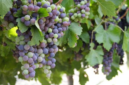 grapes-on-vine